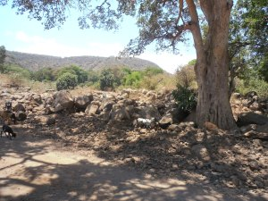 Herd of goats on road to Manyara National Park in Tanzania